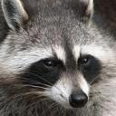raccoon's gravatar image